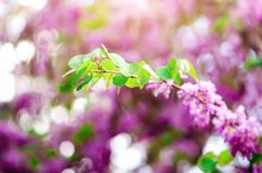Blooming Judas tree. Cercis siliquastrum, canadensis, Eastern redbud. Blossom pink flowers branch in sunlights. Spring. And summer concept, sunny day. Copy Stock Images