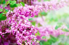 Blooming Judas tree. Cercis siliquastrum, canadensis, Eastern redbud. Blossom pink flowers branch in sunlights. Spring. And summer concept, sunny day. Copy Royalty Free Stock Photo