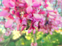 Blooming Judas Tree closeup Royalty Free Stock Images