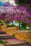 Blooming Judas tree with falling flowers Stock Image