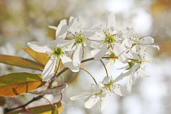 Blooming juneberry branch, amelanchier ovalis Stock Image