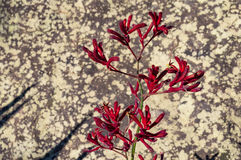 Blooming Kangaroo paw flowers Stock Photo
