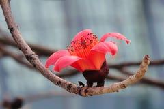 Blooming Kapok flower in spring Royalty Free Stock Image