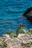 Blooming katus on the rocky seashore stock photography
