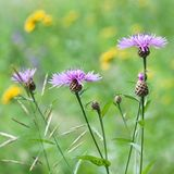 Blooming knapweed in a field or a meadow. Beautiful flowers of a cornflower blooming in a field or on a meadow royalty free stock images