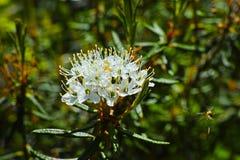 Blooming of Labrador tea Royalty Free Stock Photo