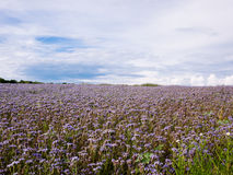 Blooming Lacy phacelia field Royalty Free Stock Photography