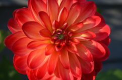 Blooming large red dahlia flower stock image