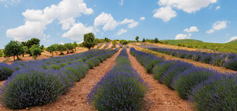 Blooming lavander field Royalty Free Stock Photography