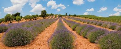 Blooming lavander field Stock Photo