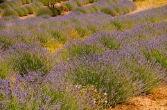 Blooming lavander field Stock Photos