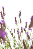 Blooming lavender Royalty Free Stock Photos