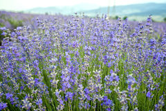 Blooming lavender Stock Image