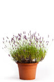 Blooming lavender Stock Photography