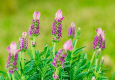 Blooming lavender bush plant with beautiful purple blossoms. Beautiful lavender plant lavandula stoechas, close-up, at mediterranean garden royalty free stock photography