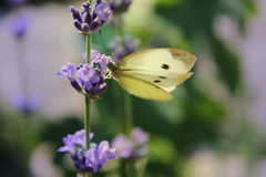 Blooming lavender with butterfly Stock Photography