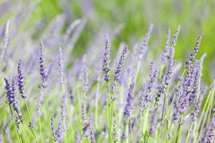 Blooming lavender Royalty Free Stock Photography