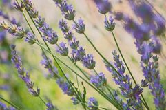 Blooming lavender Stock Photo