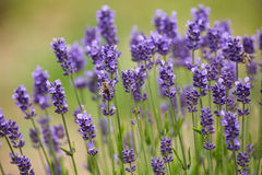 Blooming lavender Royalty Free Stock Image