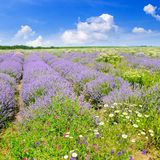 Blooming lavender in a field and blue sky. Shallow depth of fiel Stock Image