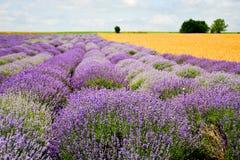 Lavender field. Blooming lavender field in Bulgaria ,Europe royalty free stock image