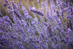 Blooming lavender field in the evening sunlight Stock Image