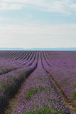 Blooming Lavender field stock photography