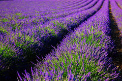 Blooming lavender field. France, Provence Stock Photos