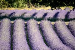 Blooming lavender field , overhung by a tree. The lines of lavender make a graphic form. Provence in the South of France royalty free stock images