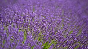 Blooming lavender in a field stock footage