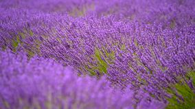 Blooming lavender in a field stock video