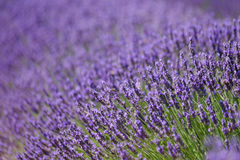 Blooming lavender in a field Royalty Free Stock Photography