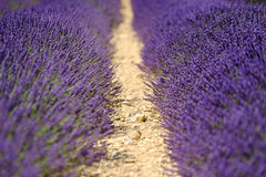 Blooming lavender in a field Royalty Free Stock Images