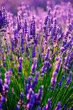 Blooming lavender in a field Royalty Free Stock Photos