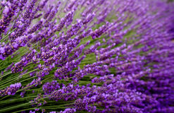 Blooming lavender in a field Royalty Free Stock Image