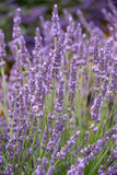 Blooming lavender in a field Stock Photos