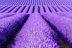 Blooming lavender in a field Stock Photo