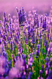 Blooming lavender in a field Stock Image