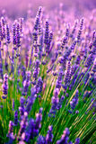 Blooming lavender in a field Royalty Free Stock Photo