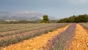 Blooming lavender field, Provence, France Royalty Free Stock Photo