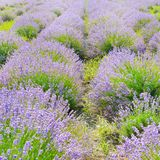 Blooming lavender field royalty free stock photo