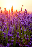 Blooming lavender in a field Stock Photography
