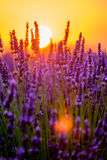 Blooming lavender in a field Stock Images