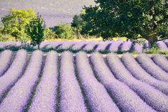 Blooming lavender field , surrounded by leaves. Blooming lavender field , surrounded by leaves, in Drôme Provencale, in France stock photo