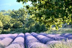 Blooming lavender field , surrounded by trees and leaves. With trees and a mountain in the background. Provence in France royalty free stock photo