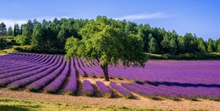 Lavender field with a tree in Provence, France. Blooming lavender field with a tree in the middle, Provence, France royalty free stock photos
