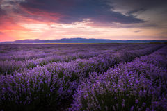 Blooming lavender field under the red colors of the summer sunset over the mountain Royalty Free Stock Photography