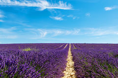 Blooming lavender fields near Valensole in Provence, France. Royalty Free Stock Photos