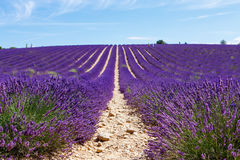 Blooming lavender fields near Valensole in Provence, France. Royalty Free Stock Photo