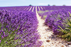 Blooming lavender fields near Valensole in Provence, France. Stock Photo
